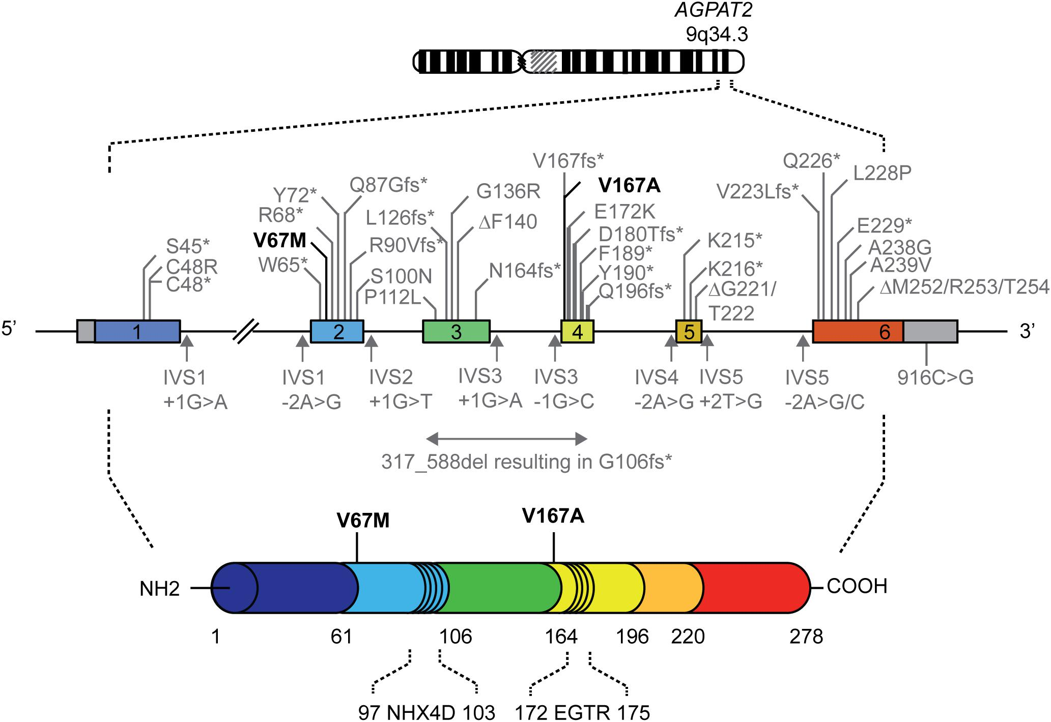 Frontiers A Single Complex Agpat2 Allele In Patient With Partial Moonshine Diagram Related Keywords Suggestions