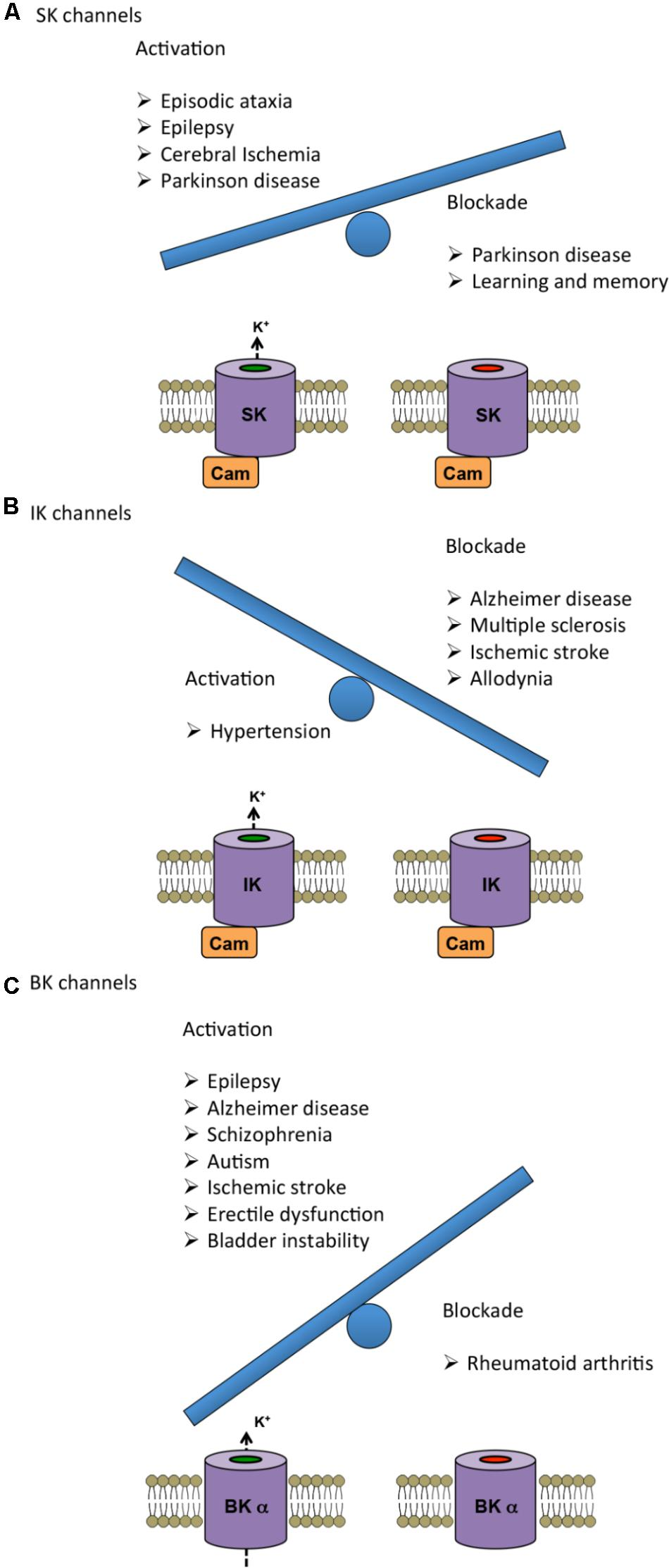 Frontiers | Physiological Roles and Therapeutic Potential of