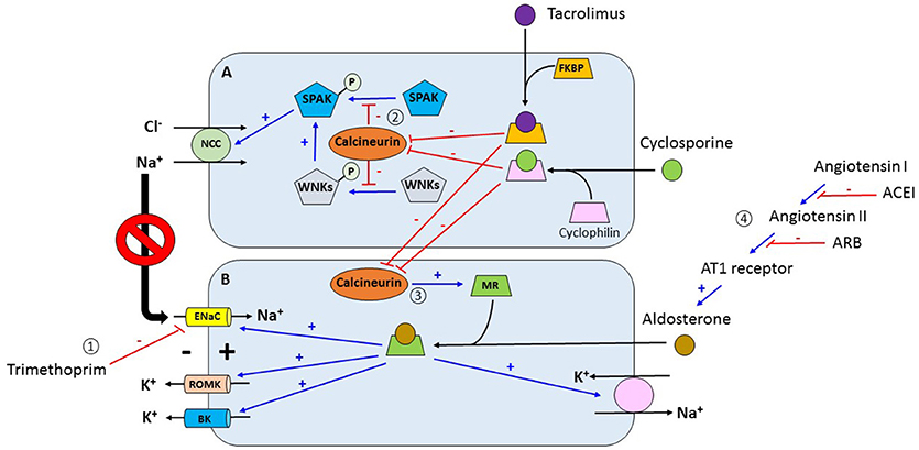 Frontiers   Electrolyte and Acid-Base Disorders in the Renal