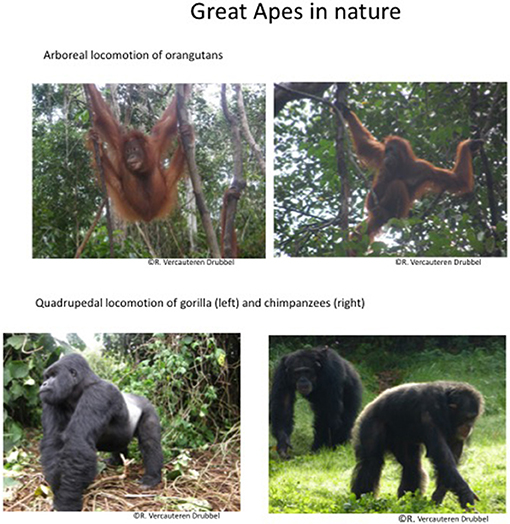 Figure 2 - Great Apes in nature.