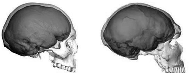 Figure 3 - A comparison of the skulls of Homo sapiens (Human) (left) vs. Homo neanderthalensis (Neanderthal) (right).