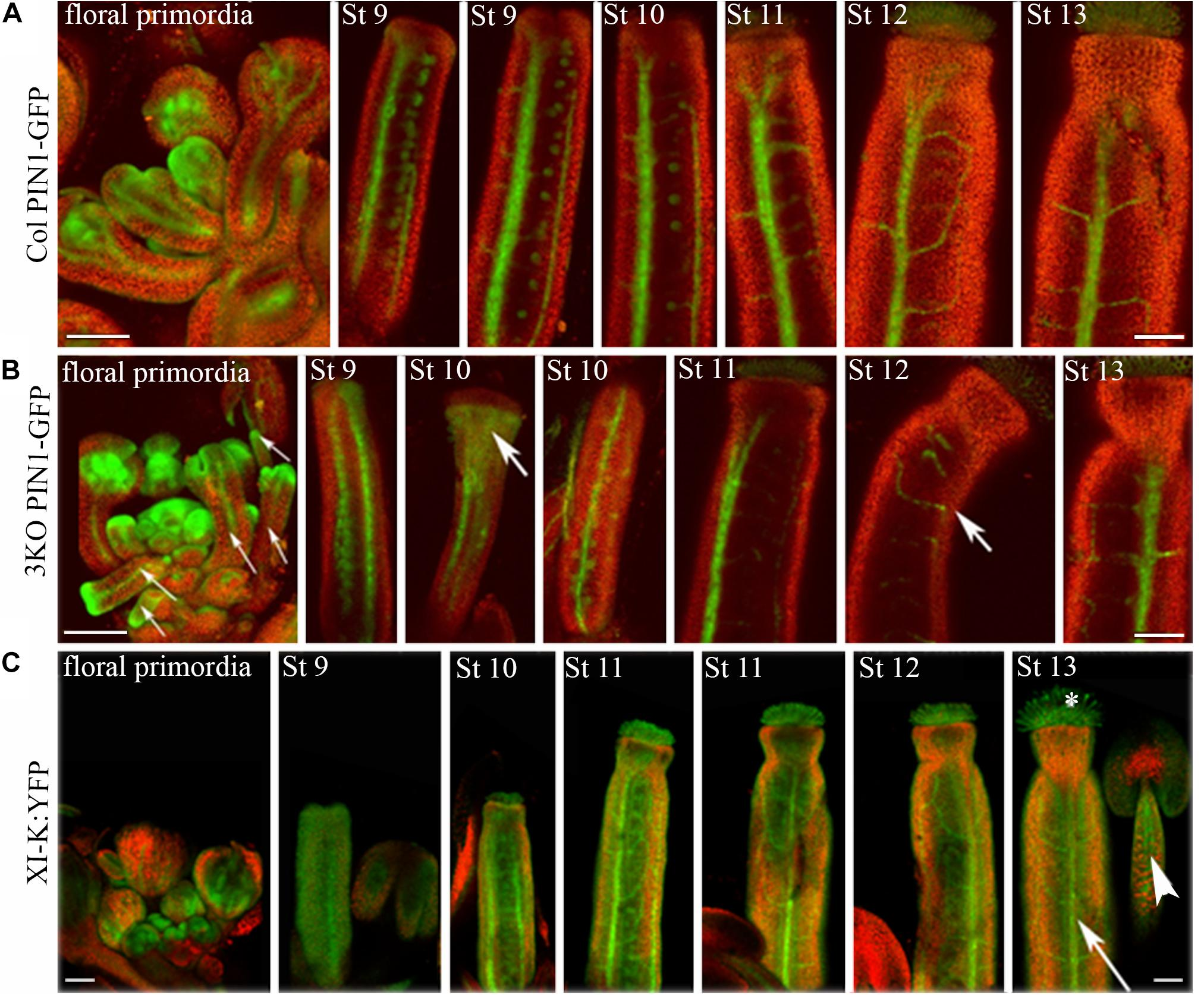 Frontiers | Class XI Myosins Contribute to Auxin Response and