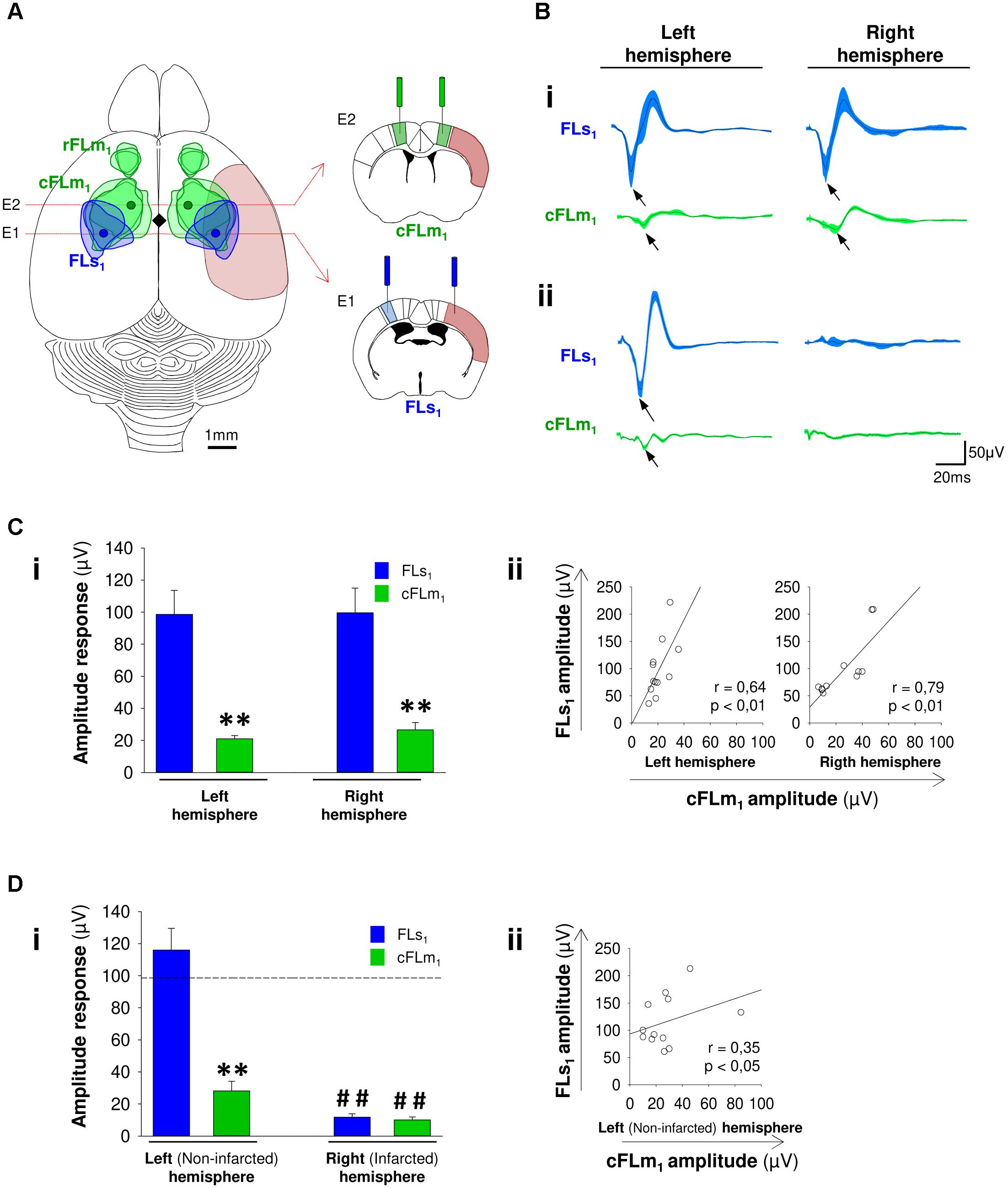 Frontiers | Cortical Reshaping and Functional Recovery