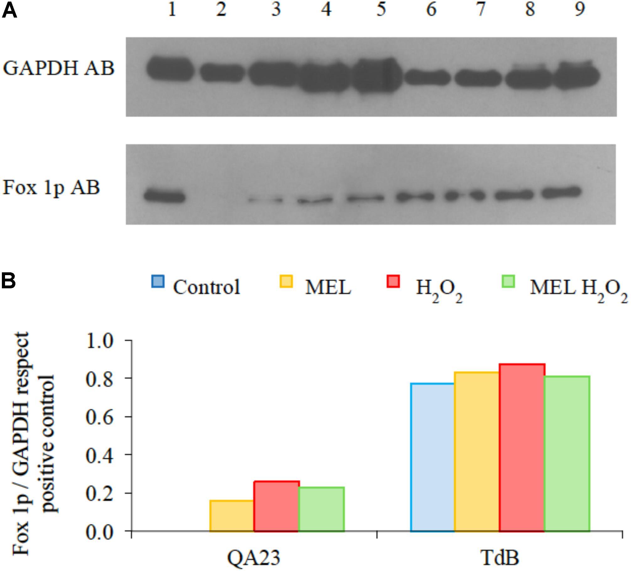 Frontiers   Melatonin Minimizes the Impact of Oxidative