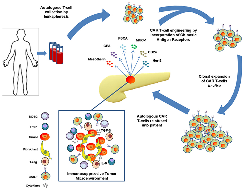 Frontiers | The Potential of CAR T Cell Therapy in Pancreatic Cancer