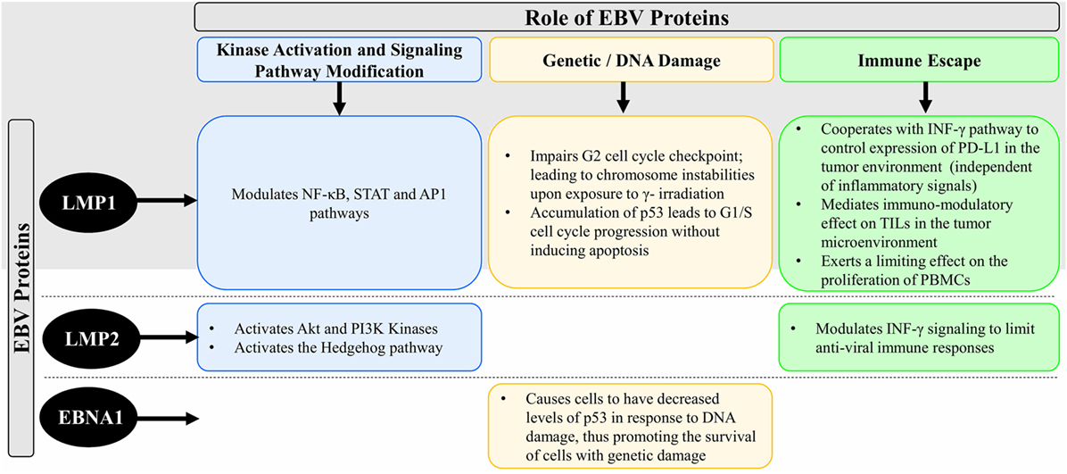 Frontiers | Role of Epstein–Barr Virus in the Pathogenesis