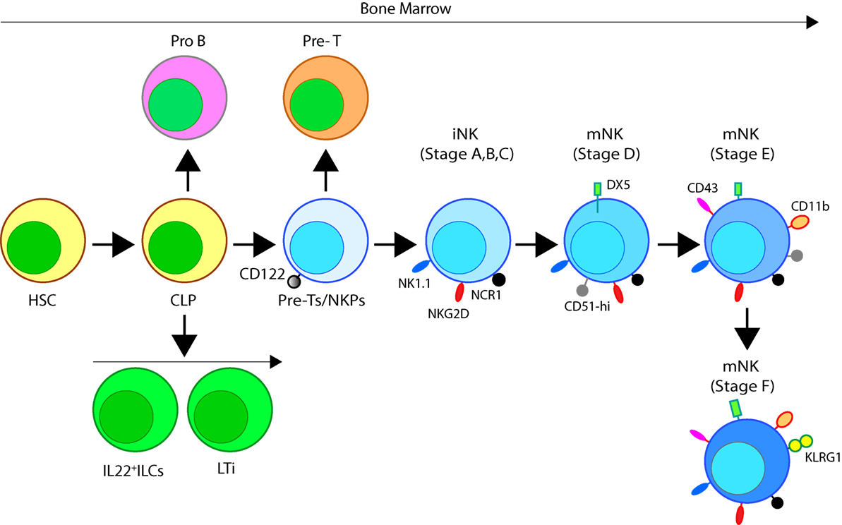 Frontiers Natural Killer Cells Development Maturation And 85 Caballero Fuse Box