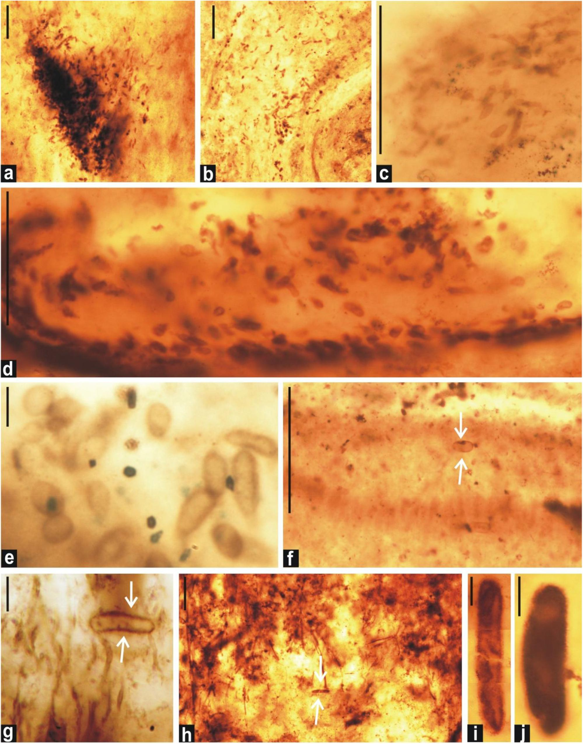 Frontiers | Akinetes From Late Paleoproterozoic Salkhan