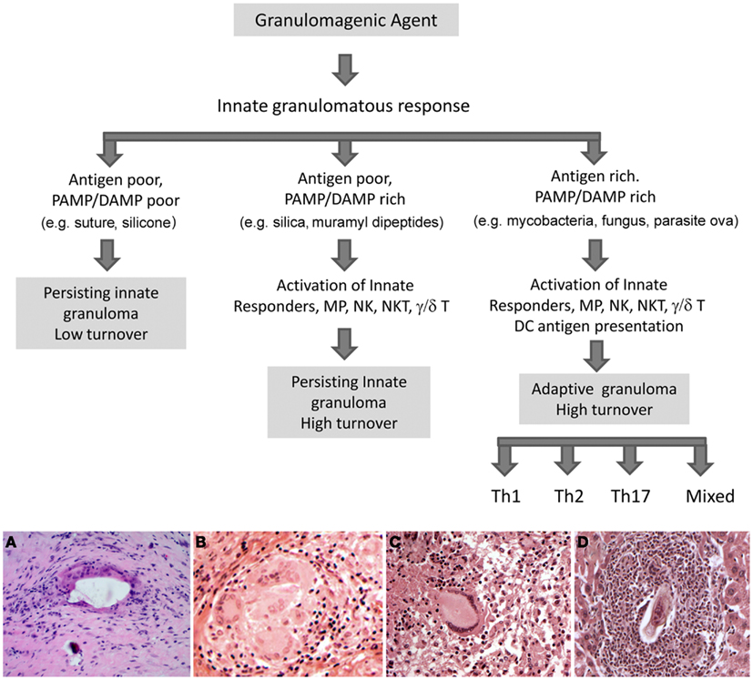 Potential fates of the innate granuloma. In the