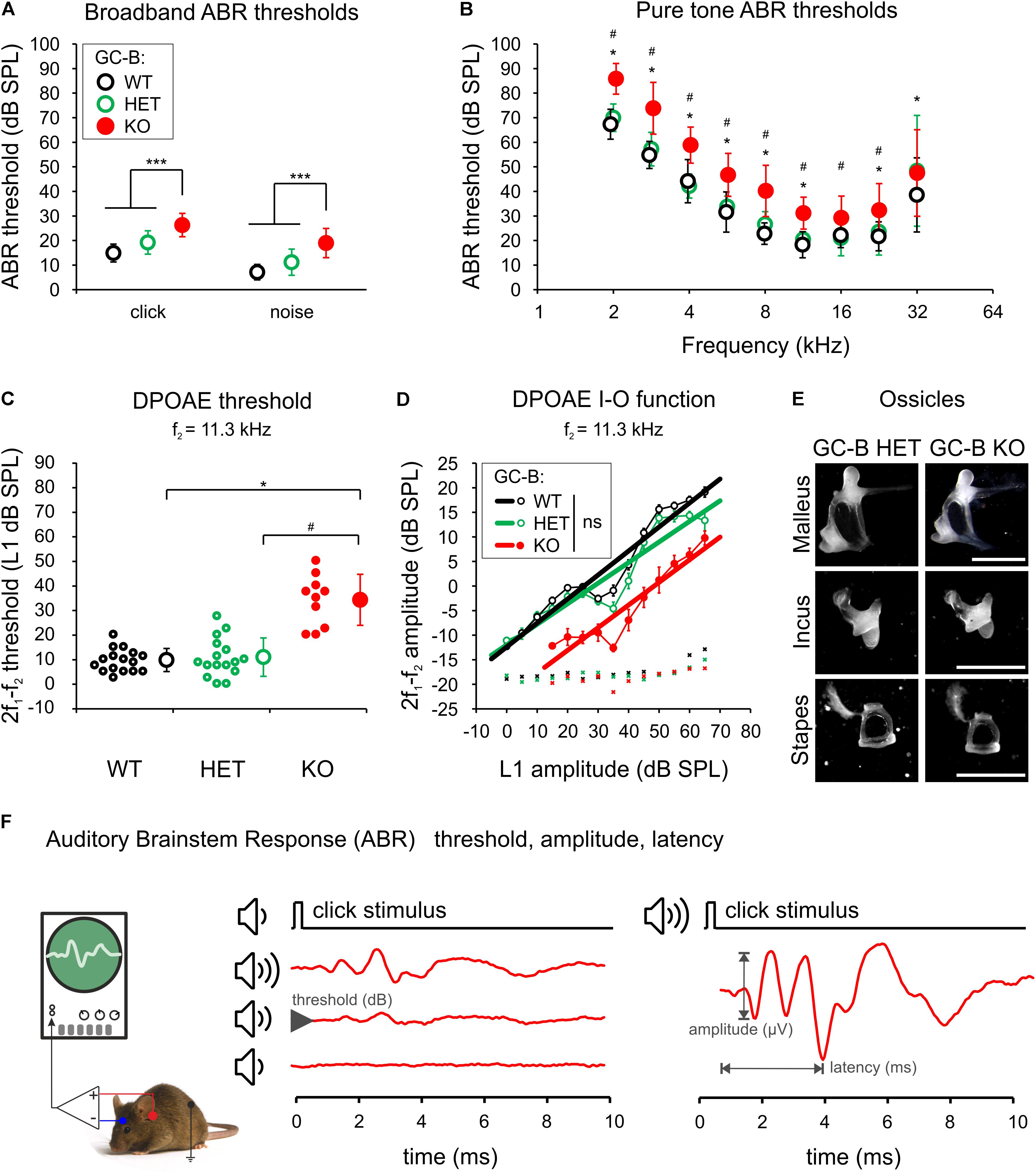 Frontiers | GC-B Deficient Mice With Axon Bifurcation Loss Exhibit