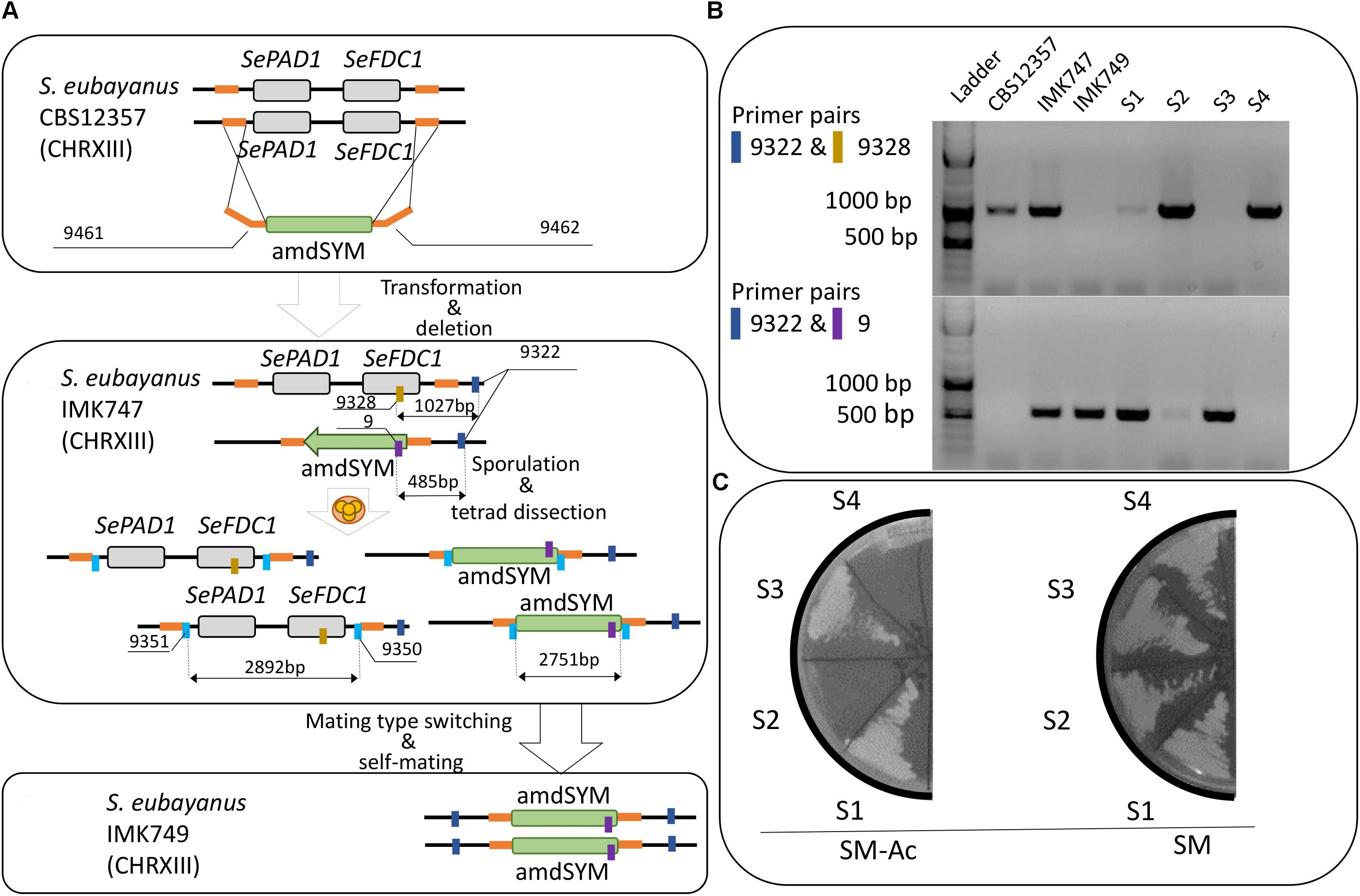 Frontiers | Selection of Pof-Saccharomyces eubayanus Variants for