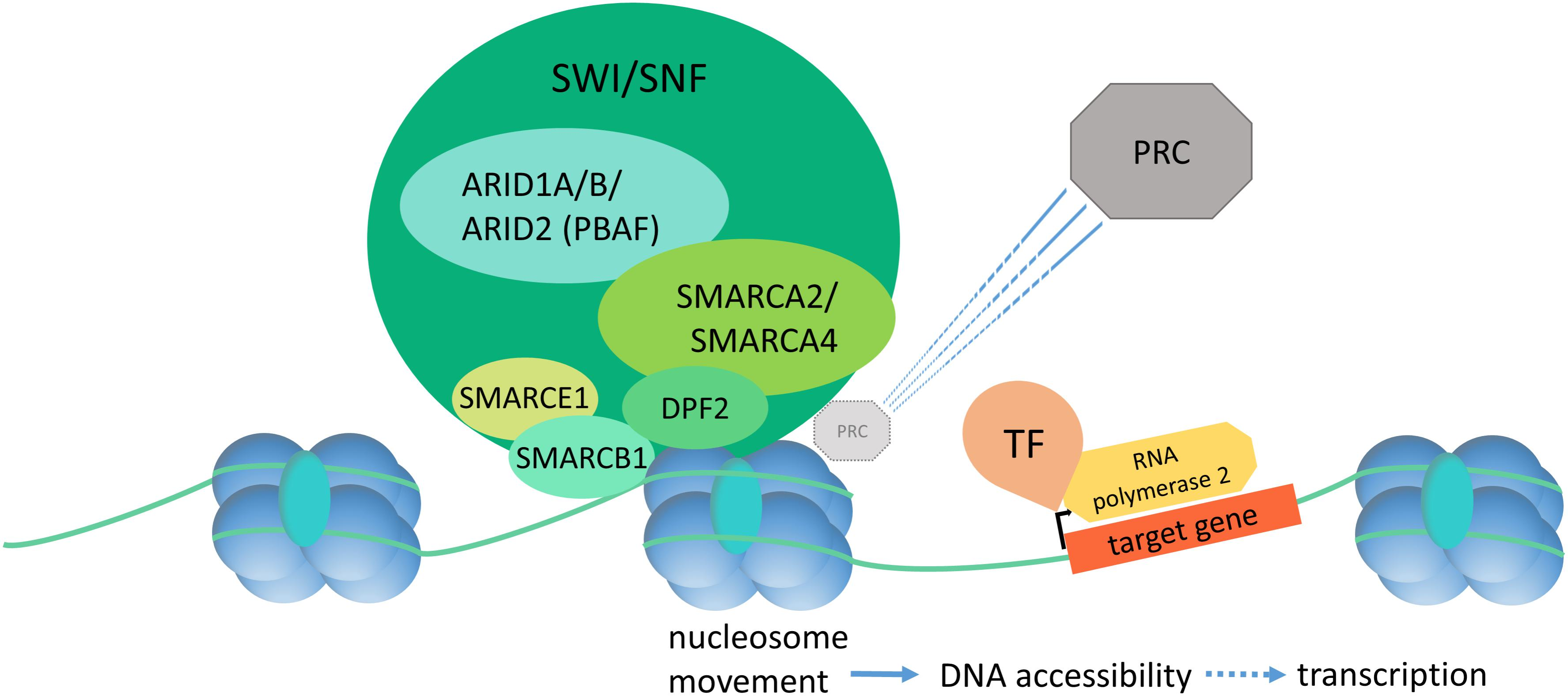 Frontiers | Mutational Landscapes and Phenotypic Spectrum of SWI/SNF ...
