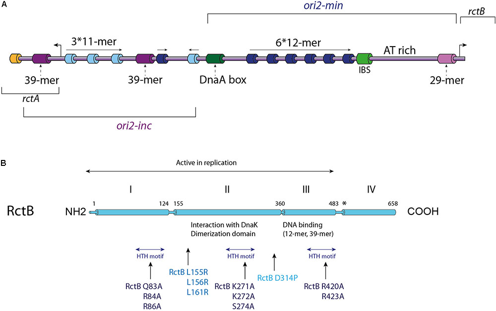 Explain How Dna Serves As Its Own Template During Replication   Frontiers Replicate Once Per Cell Cycle Replication Control Of