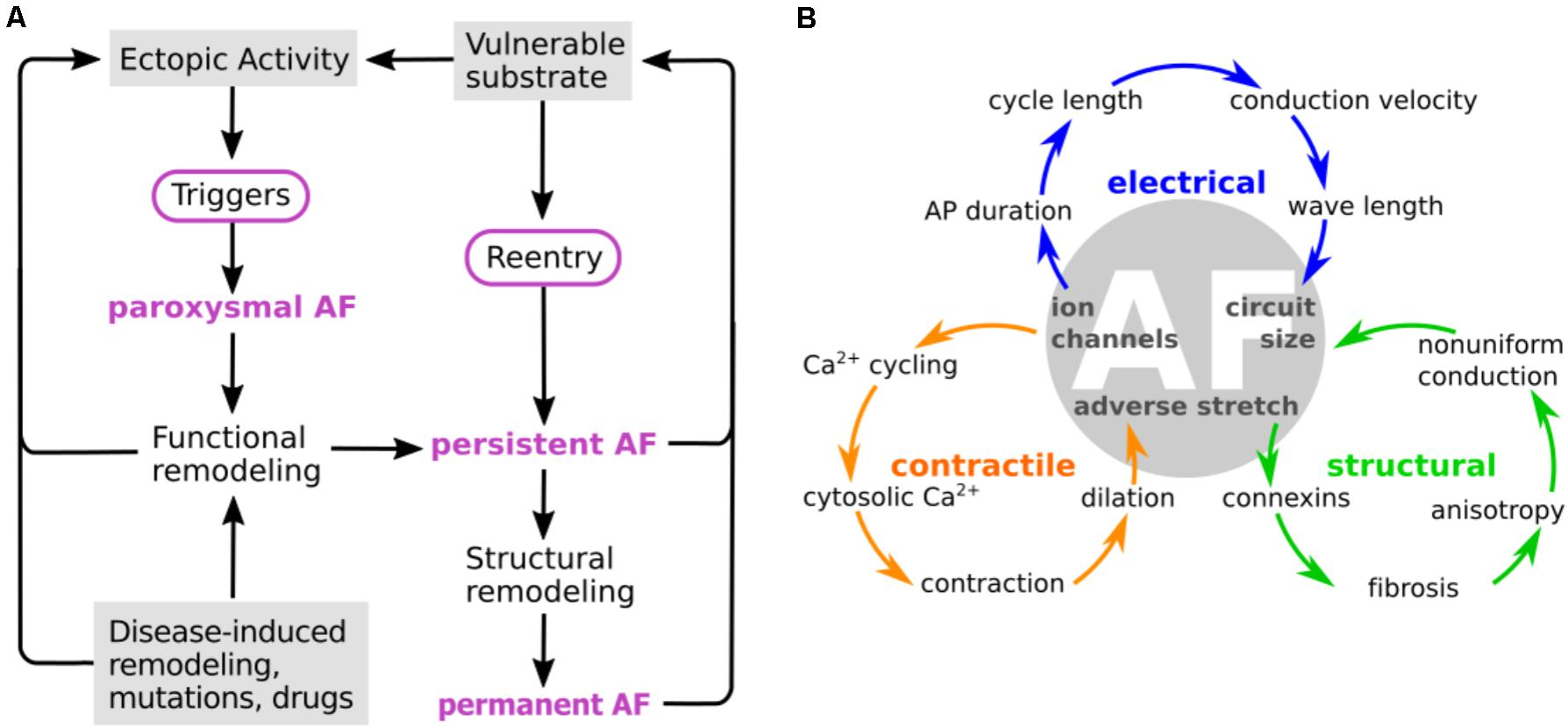 Frontiers | Computational Modeling of Electrophysiology and