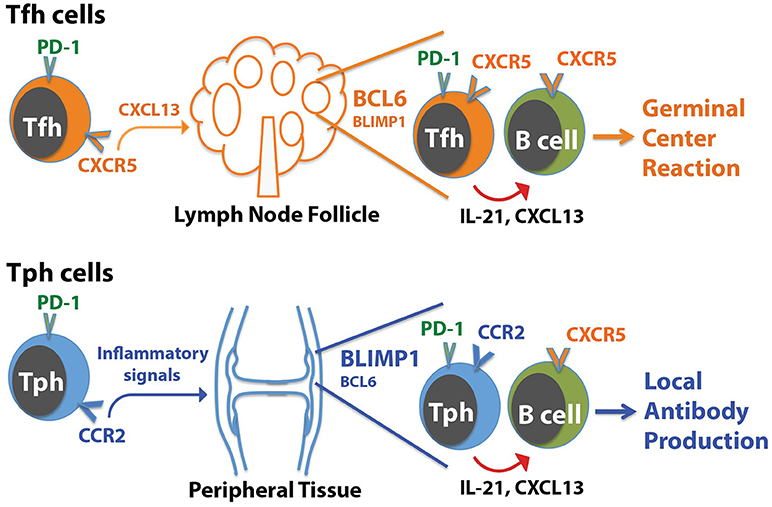 Frontiers   T Cells That Help B Cells in Chronically Inflamed