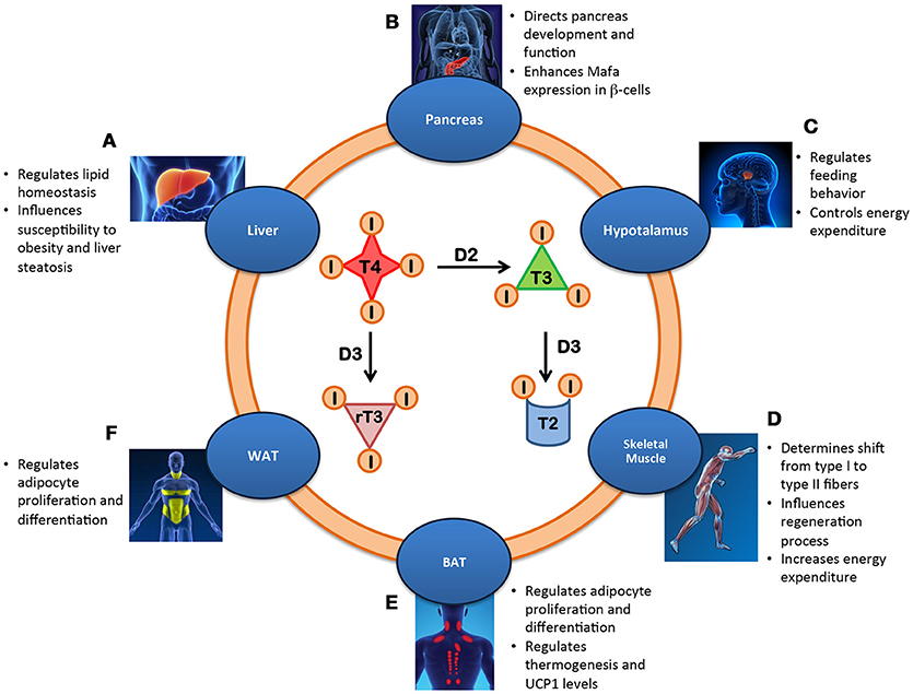 Frontiers Metabolic Effects Of The Intracellular Regulation Of