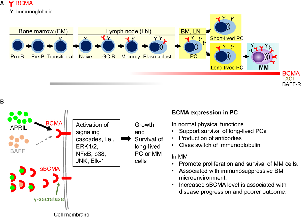 Frontiers Targeting B Cell Maturation Antigen Bcma In Multiple Reed Switches 2 1 What Is It Polarized And Memory