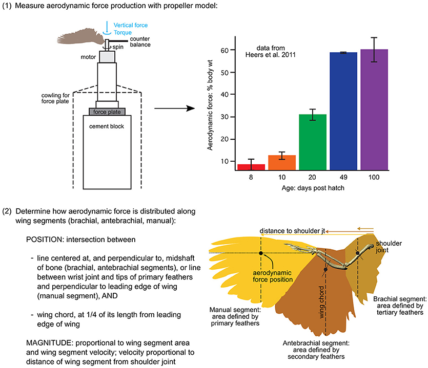 Frontiers   Building a Bird: Musculoskeletal Modeling and