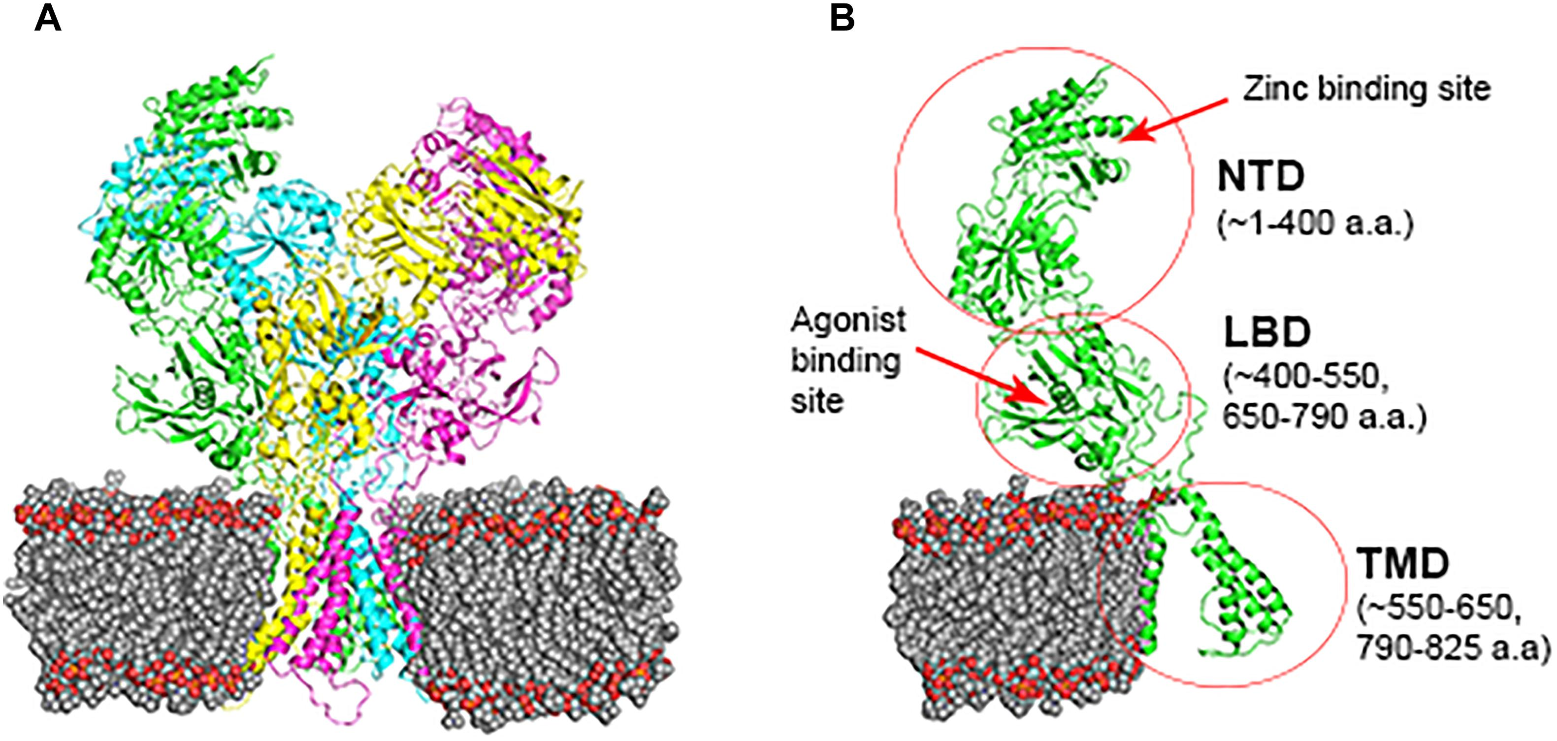 Frontiers Marine Mammals Nmda Receptor Structure Possible Adaptation To High Pressure Environment Physiology