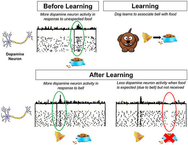 Figure 2 - This figure shows what is happening in the dog's brain before and after learning.