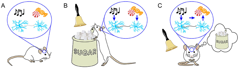 Figure 1 - Learning strengthens the connections between certain neurons.