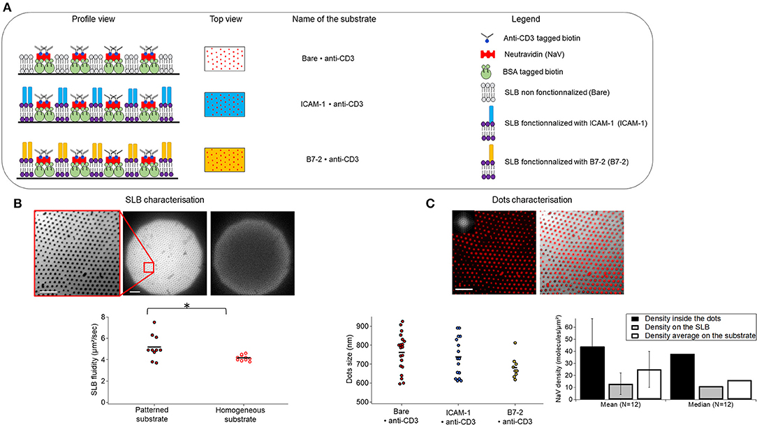 Frontiers   T Cells on Engineered Substrates: The Impact of