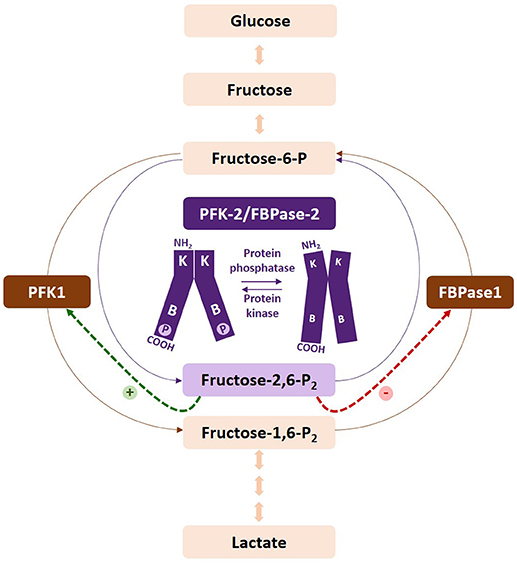 Frontiers | Fructose 2,6-Bisphosphate in Cancer Cell Metabolism