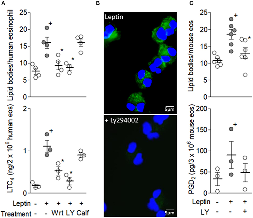 Frontiers | Leptin Elicits LTC4 Synthesis by Eosinophils