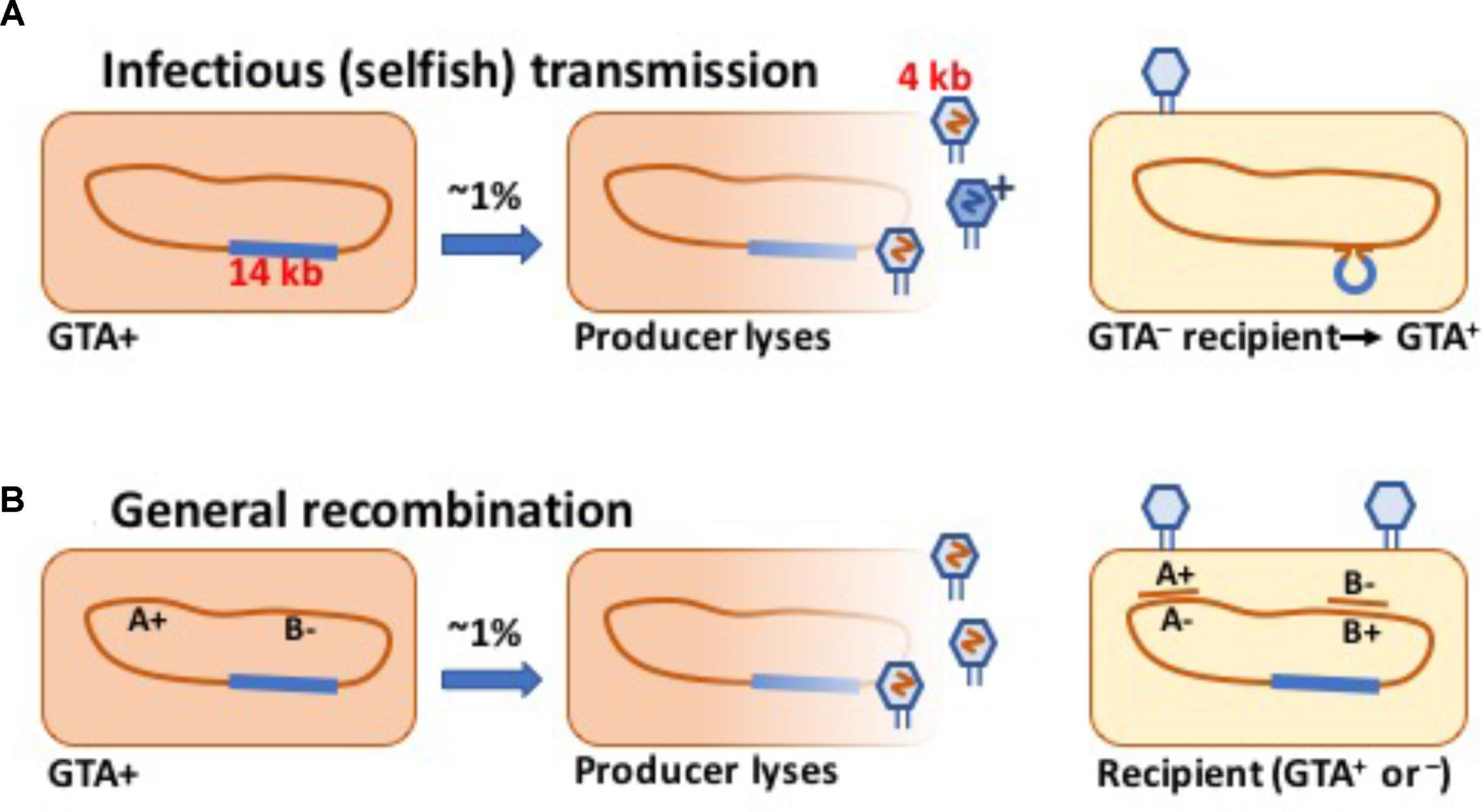 Frontiers | Evolution of Bacterial Gene Transfer Agents | Microbiology