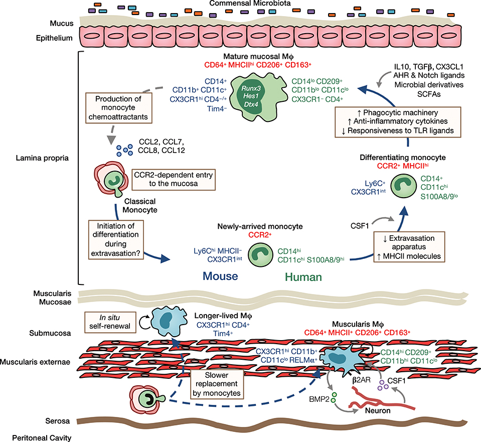 Frontiers | Origin, Differentiation, and Function of Intestinal