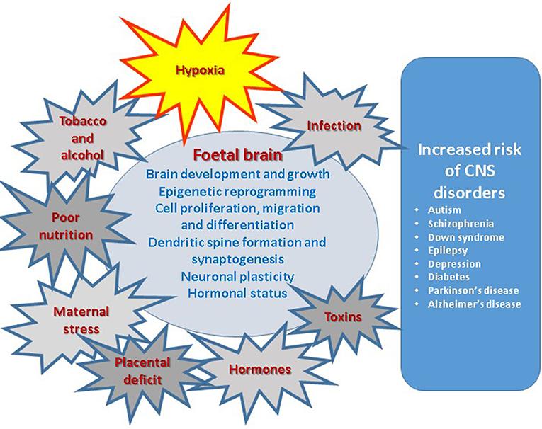 Now And Zen Lower Prenatal Stress >> Frontiers Role Of Prenatal Hypoxia In Brain Development Cognitive