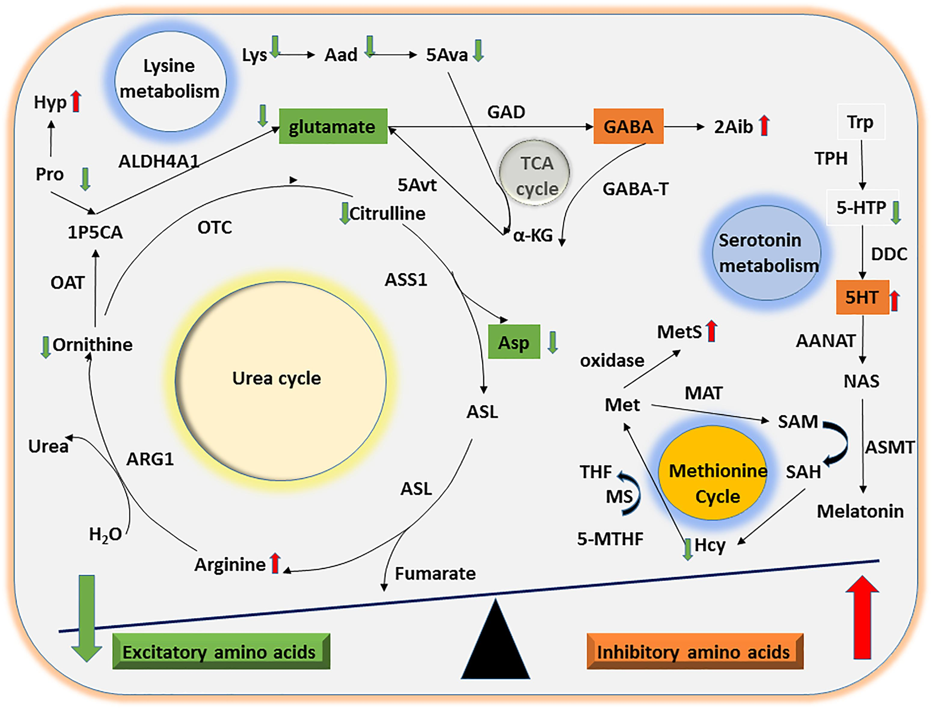 Frontiers | Altered Urinary Amino Acids in Children With Autism
