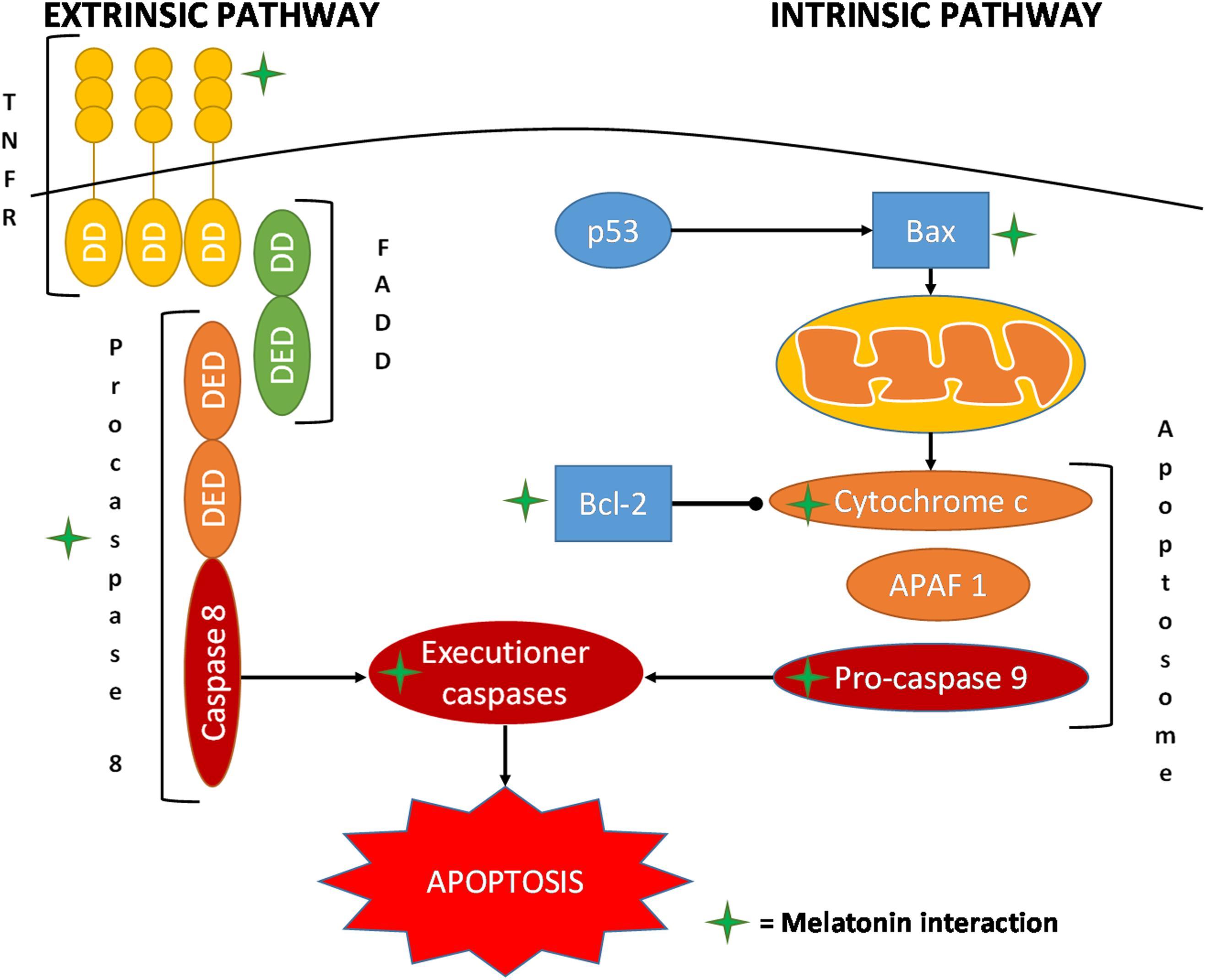 Frontiers | Promising Antineoplastic Actions of Melatonin