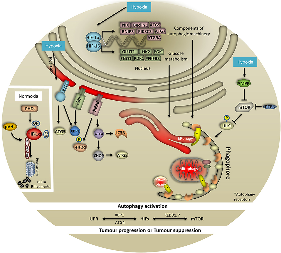 Frontiers | Hypoxia and Selective Autophagy in Cancer Development