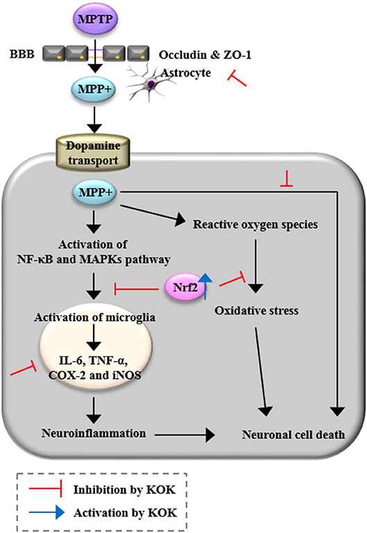 Frontiers | Neuroprotective Effects of a Traditional Multi