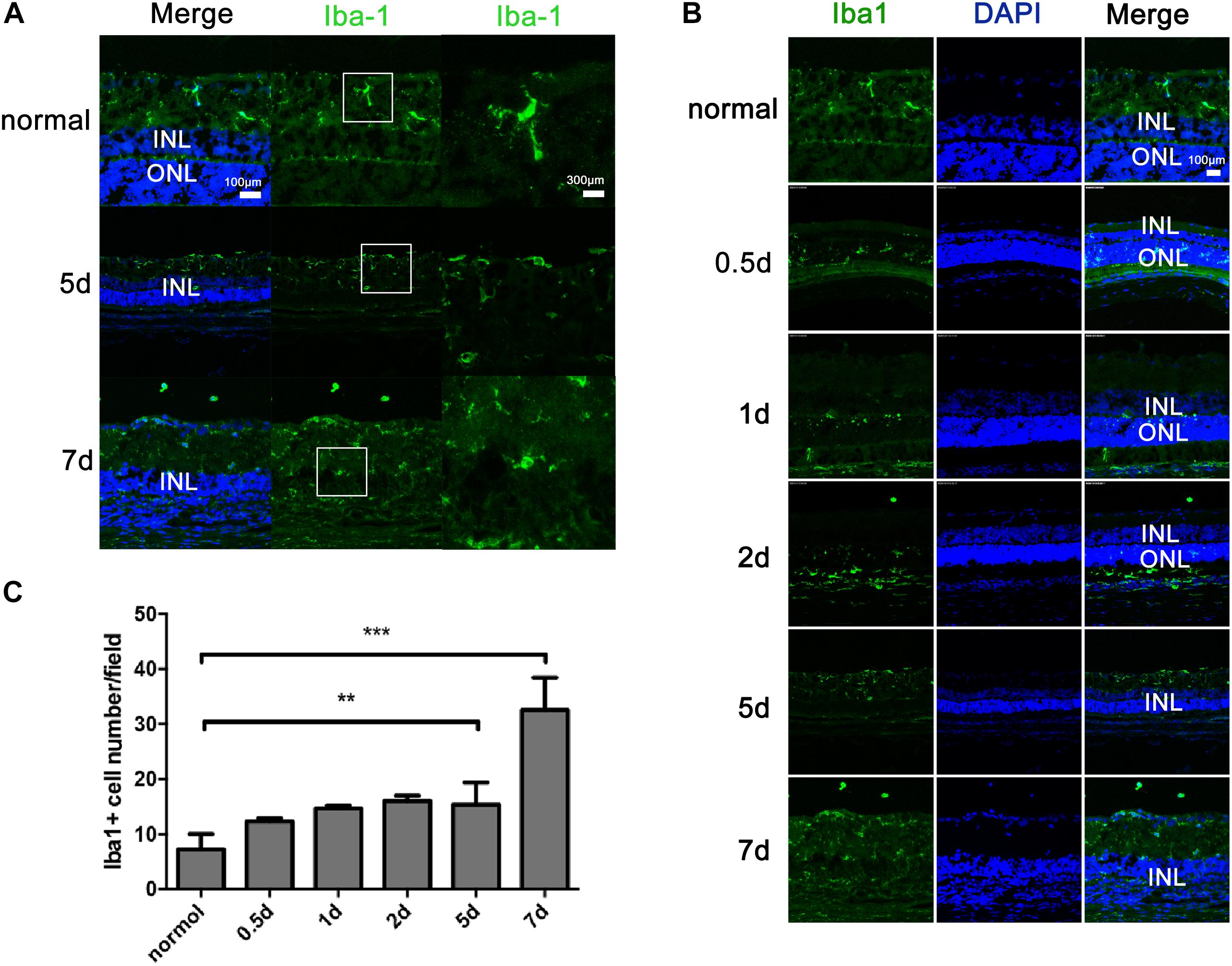 Frontiers | Müller Cell Regulated Microglial Activation and