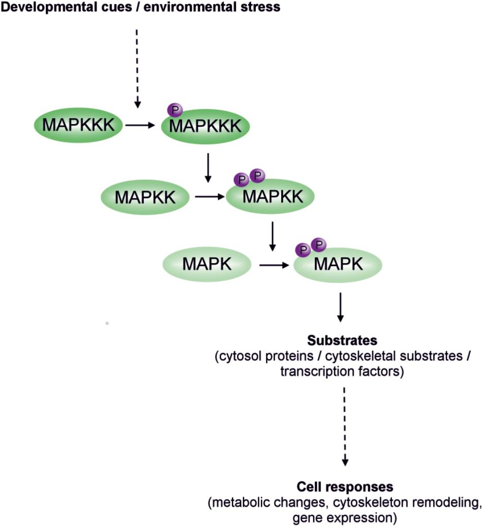 Frontiers | Min-Activated Protein Kinase Cascades in ... on cyclic adenosine monophosphate, mapk/erk pathway, apoptosis cascade, c-jun n-terminal kinases, jak-stat signaling pathway, protein kinase, adenylate cyclase, pi3k/akt/mtor pathway, protein kinase c, wnt signaling pathway, signal transduction, protein kinase cascade, tyrosine kinase, cyclin-dependent kinase, notch signaling pathway, amyloid cascade, signal transduction pathway cascade, receptor tyrosine kinase, tgf beta signaling pathway, caspase cascade,