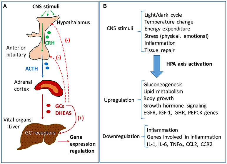Frontiers   Hypothalamus-Pituitary-Adrenal Dysfunction in