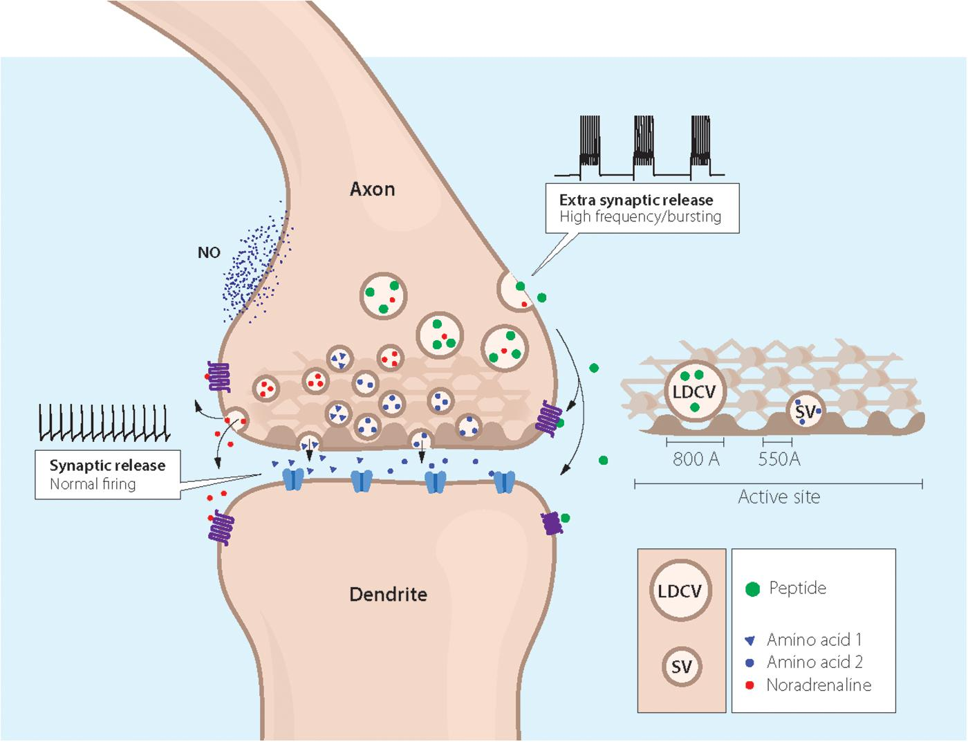 Frontiers | Neuropeptide and Small Transmitter Coexistence ... on