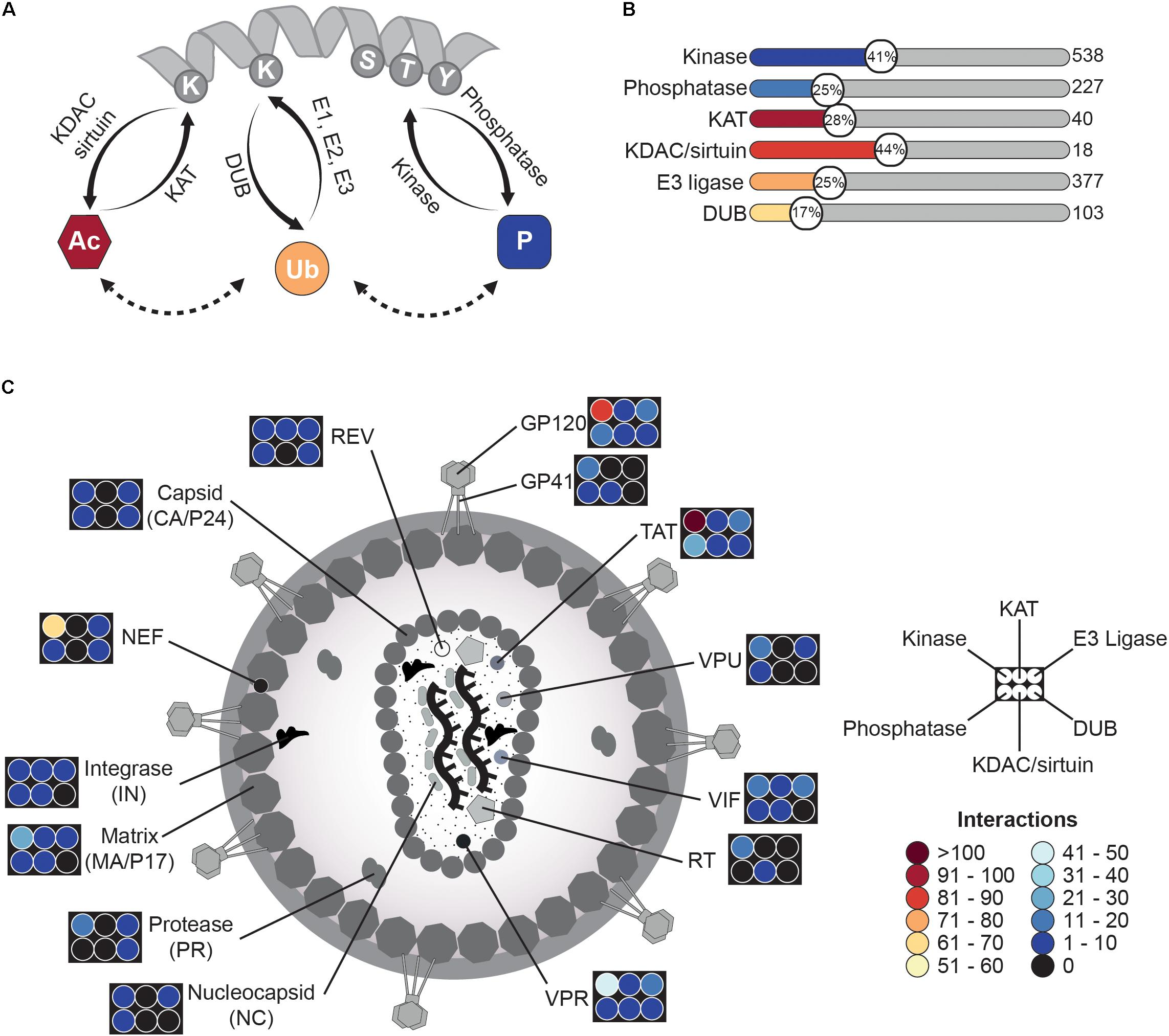 Frontiers   Post-translational Modification-Based Regulation of HIV