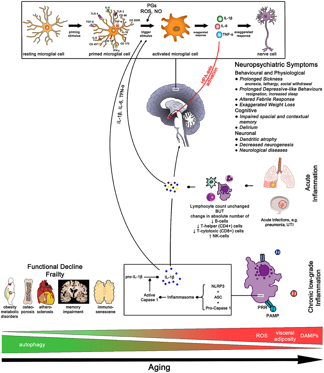 Frontiers | Inflammation–Nature's Way to Efficiently Respond