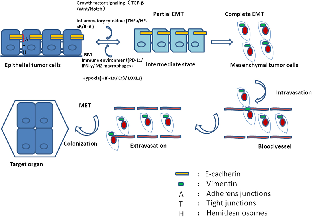 Frontiers | Cellular Phenotype Plasticity in Cancer Dormancy and