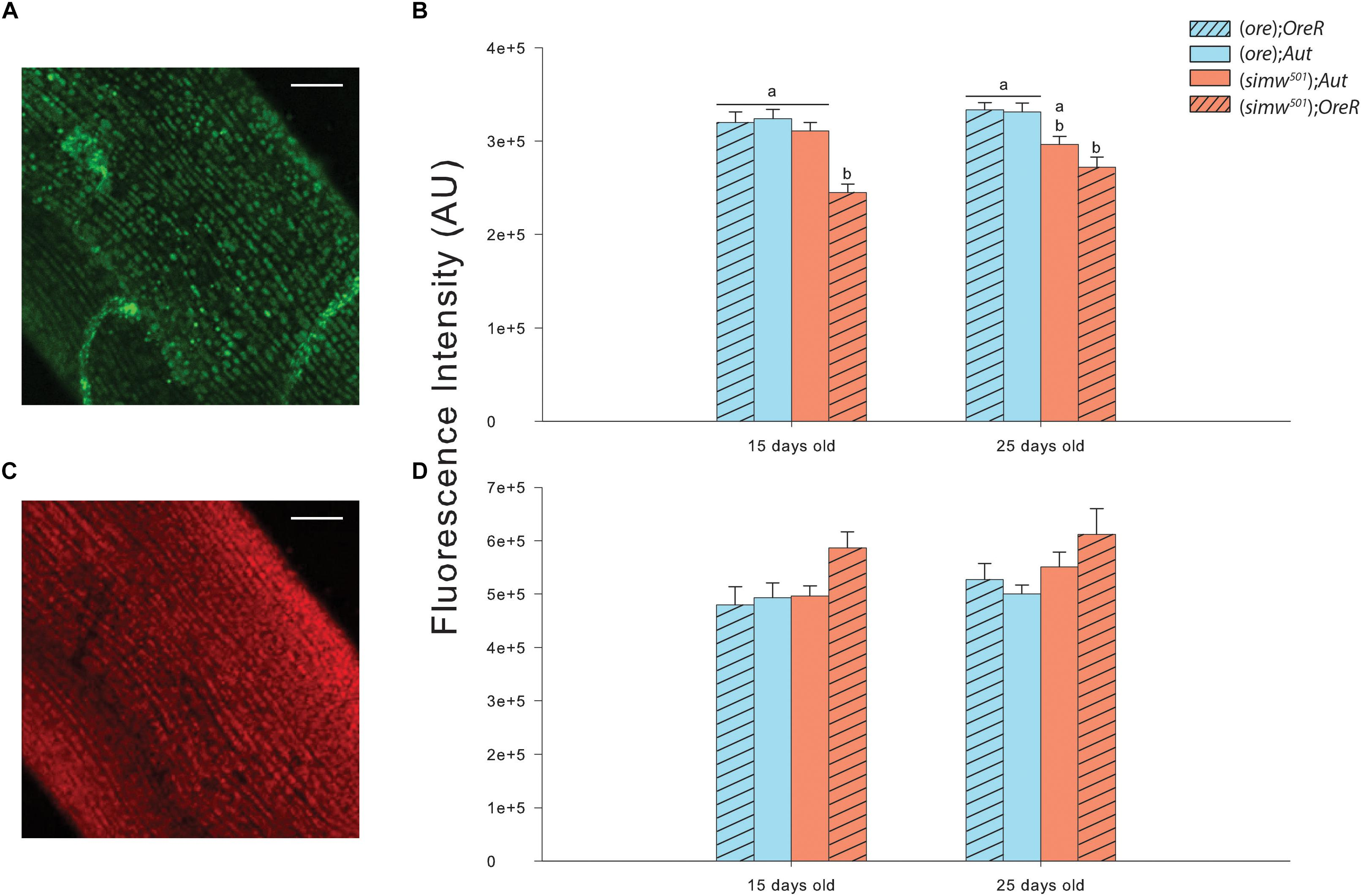 Frontiers | Age Dependent Dysfunction of Mitochondrial and