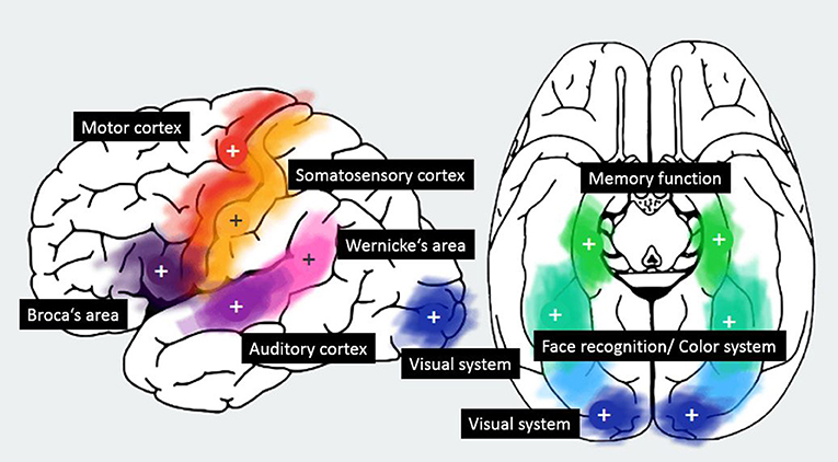 Figure 1 - Most important brain regions with a + in the center of the region.