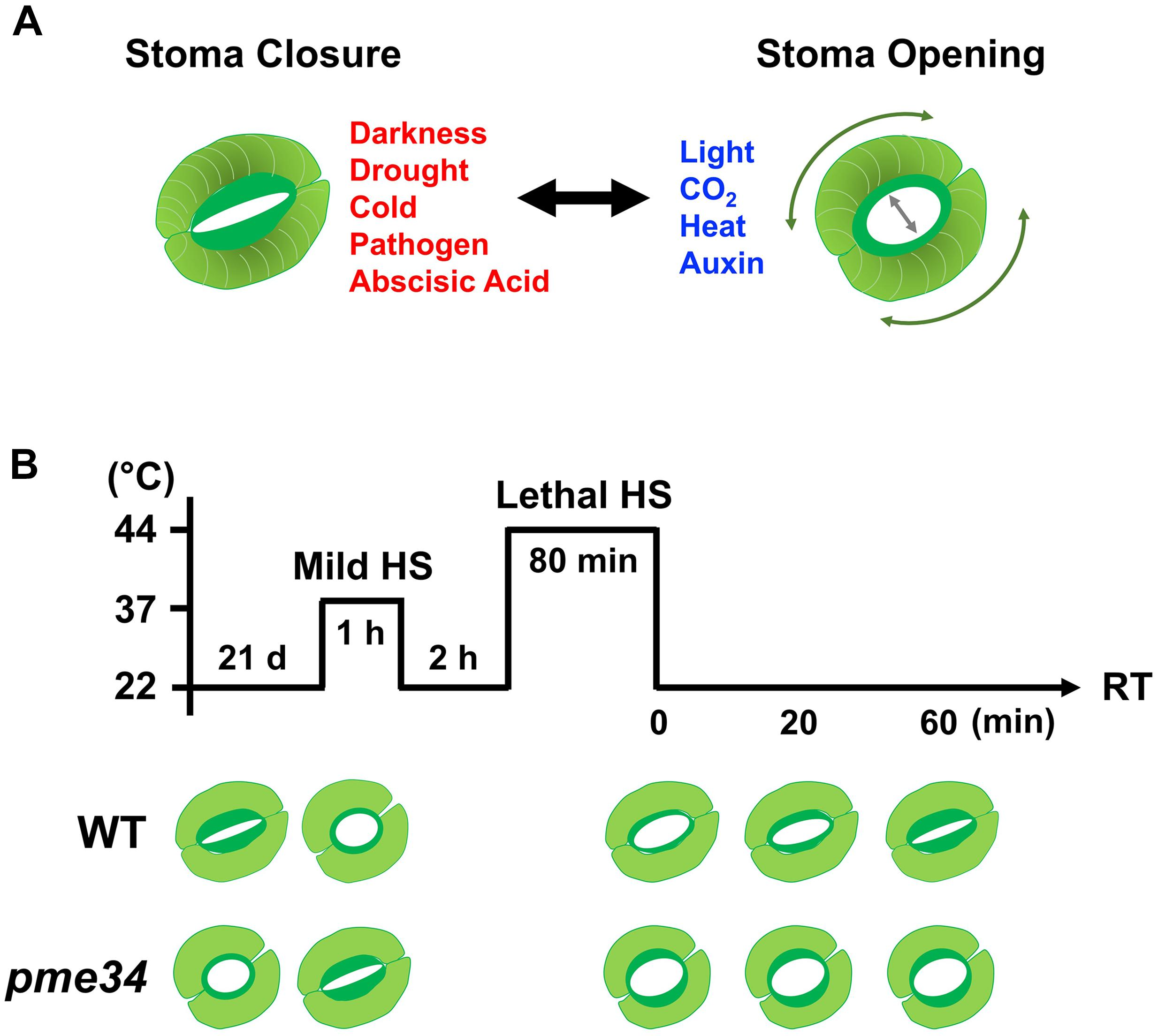 Frontiers | Pectin Methylesterases: Cell Wall Remodeling