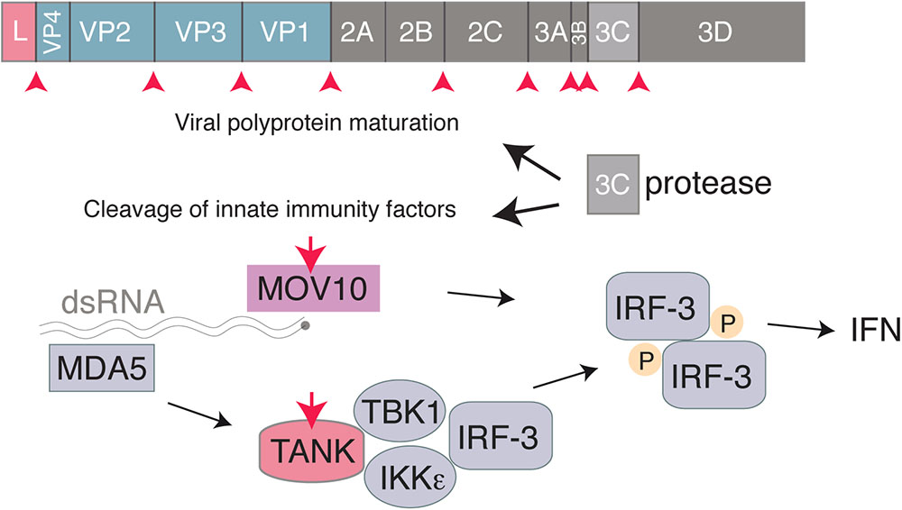 Frontiers | Innate Immune Detection of Cardioviruses and