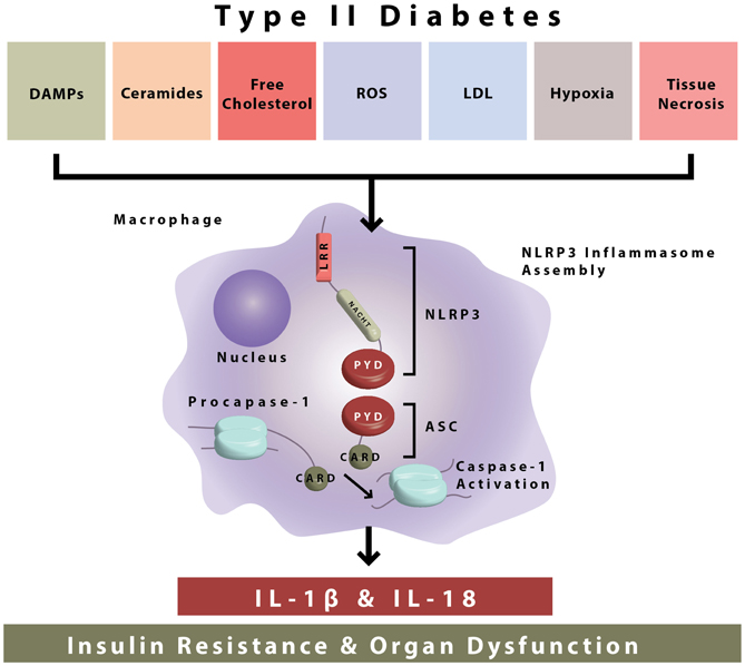 Insulin Goes Viral: Mechanisms Of Disease: Inflammasome Activation