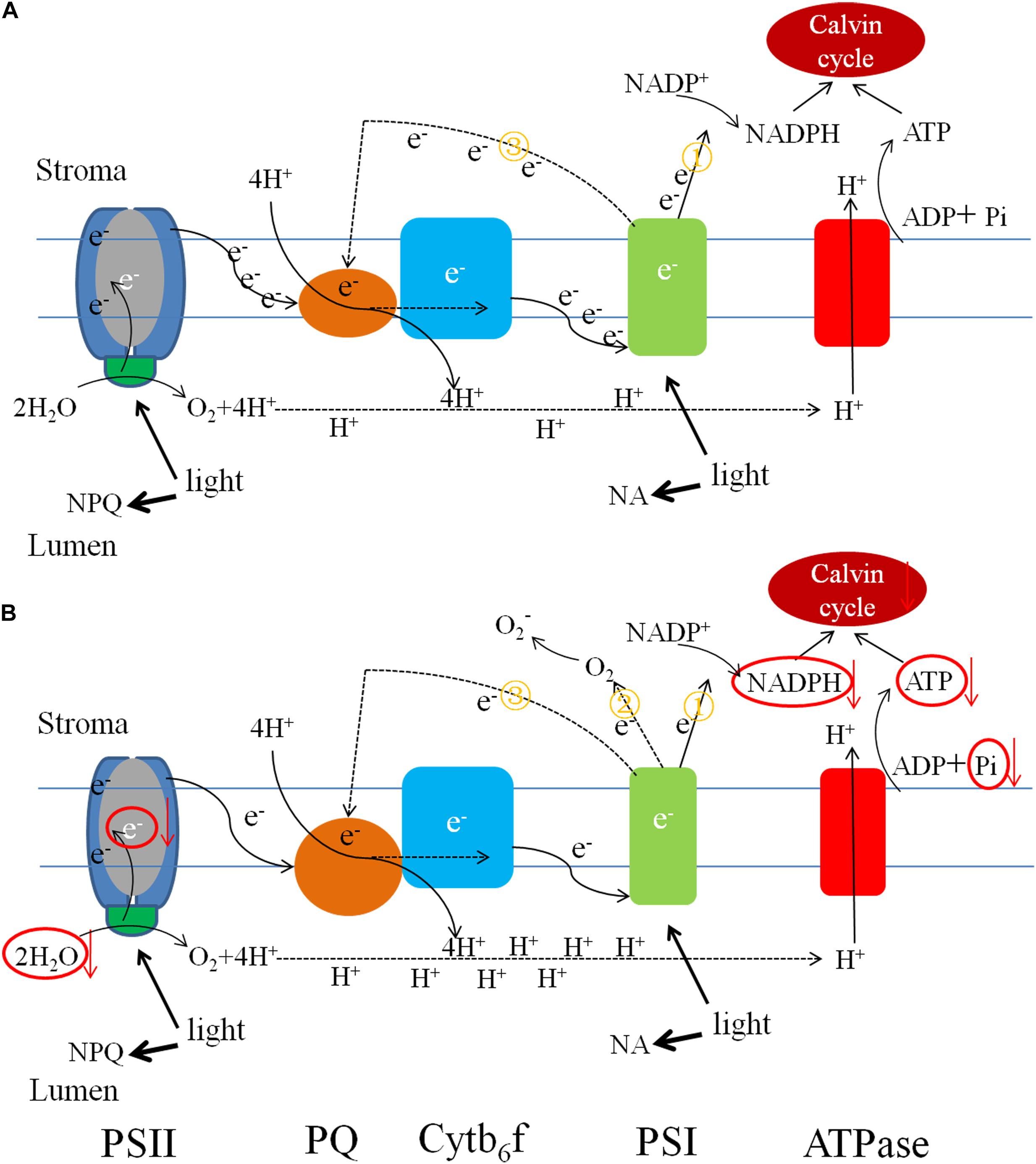 Frontiers | Physiological and Biochemical Responses of Cucumis melo