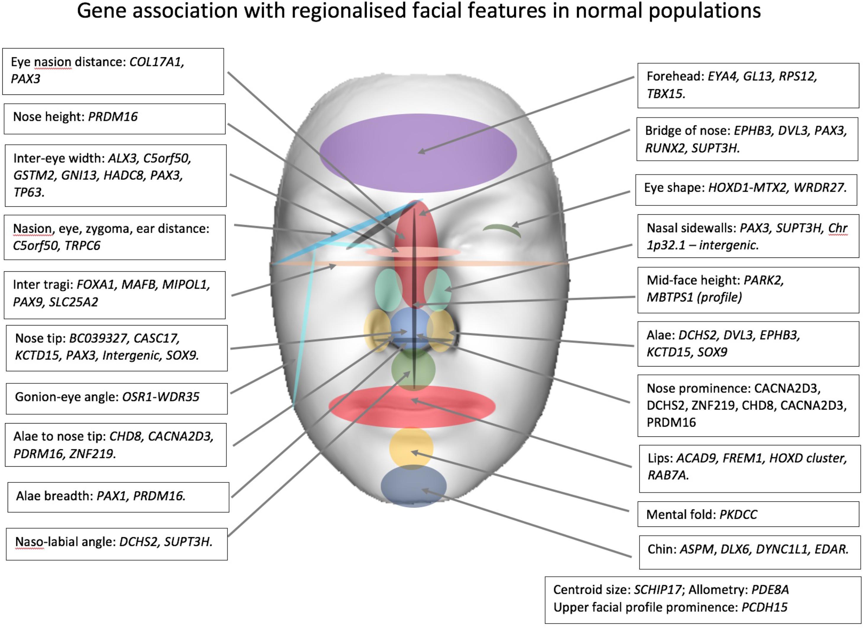 Frontiers | Facial Genetics: A Brief Overview | Genetics