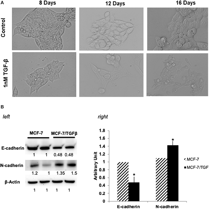Frontiers | Phage Ligands for Identification of Mesenchymal